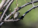 _4181770 White-crowned Sparrow in Apricot Tree_5184x3888
