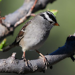 _4181770 White-crowned Sparrow_1700x1700